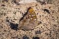 Butterflies of Tambov Oblast - 002.jpg