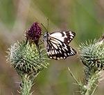 Butterfly 5 (31246745835).jpg