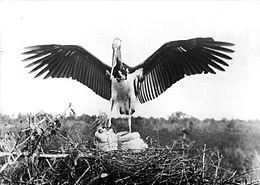 COLLECTIE TROPENMUSEUM Javaanse maraboe (Leptoptilos javanicus) met jongen op het nest TMnr 10006491
