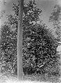 COLLECTIE TROPENMUSEUM Liberia-koffiestruiken van 1893 94 in tuin 'F' op de cultuuronderneming Way-Lima de Lampongse Districten Zuid-Sumatra. TMnr 60013362.jpg