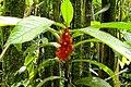 CR547 plant Costa Rica.JPG