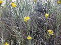 CSIRO ScienceImage 11317 Wildflowers on Rottnest Island Western Australia.jpg