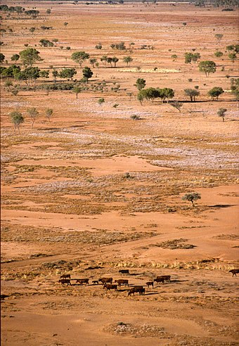 Cattle in dry landscape north of Alice Springs, Australia (CSIRO) CSIRO ScienceImage 1672 Cattle in dry landscape.jpg