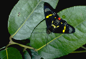 CSIRO ScienceImage 993 Regent skipper.jpg