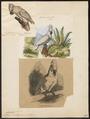 Cacatua albus - 1833-1839 - Print - Iconographia Zoologica - Special Collections University of Amsterdam - UBA01 IZ18600011.tif