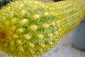 Cactaceae in iran- mahallat city کاکتوس های گلخانه های محلات- ایران 29.jpg