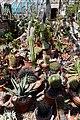 Cacti at Quex House Birchington Kent England.jpg