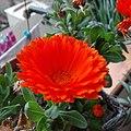 Calendula officinalis 20190416 072211 761.jpg
