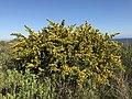 Calicotome villosa - Spiny broom 06.jpg