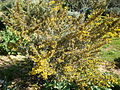 Calicotome villosa 1c.JPG