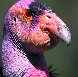 Condor - Image: California Condor