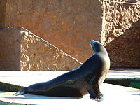 Californian Sea Lion.JPG