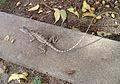 Calotes versicolor (Garden Lizard) spotted at Ponnur.jpg