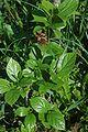 Calycanthus floridus 1.jpg