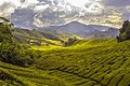 Cameron Highlands, Malaysia (Unsplash).jpg