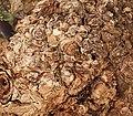 Canarina canariensis 02 ies.jpg