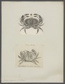 Cancer pagurus - - Print - Iconographia Zoologica - Special Collections University of Amsterdam - UBAINV0274 094 15 0002.tif