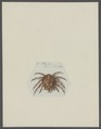 Cancer thalia - - Print - Iconographia Zoologica - Special Collections University of Amsterdam - UBAINV0274 095 13 0003.tif