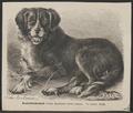 Canis lupus familiaris - 1700-1880 - Print - Iconographia Zoologica - Special Collections University of Amsterdam - UBA01 IZ22300082.tif