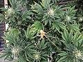 Cannabis plants top view.jpg