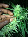Cannabis tree.5.jpg