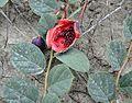 Capparis spinosa Caper კაპარი.JPG