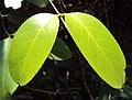 Capparis zeylanica 02.JPG
