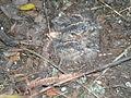 Caprimulgus europaeus 5.jpg