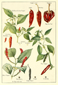 Capsicum-chillies-pepper.png