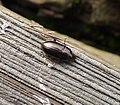 Carabidae Amara species (33683310942).jpg