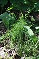 Carex dioica plant (01).jpg