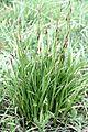 Carex montana Mountain Sedge მთის ისლი.JPG