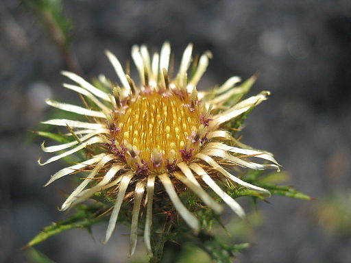 Carlina vulgaris inflorescence