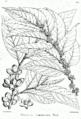 Casearia tomentosa Bra31.png