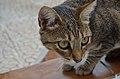 Cat2 ms.jpg