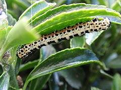 Caterpillar Abraxas grossulariata 02.jpg