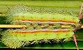 Caterpillars in tandem (2532157225).jpg