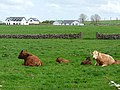 Cattle and houses at Knocknadrimna - geograph.org.uk - 2414958.jpg