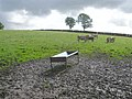 Cattle in a muddy field - geograph.org.uk - 1453994.jpg