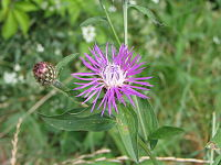 Centaurea nigrescens subsp. nigrescens bgiu