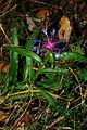 Centaurea triumfettii g1.JPG