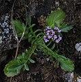 Centranthus calcitrapae RF.jpg