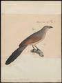 Centropus superciliosus - 1835 - Print - Iconographia Zoologica - Special Collections University of Amsterdam - UBA01 IZ18800153.tif