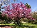 Cercis siliquastrum - Judas tree 02.jpg