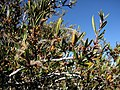 Cercocarpus ledifolius 8219.jpg