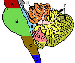 definition of cerebellum