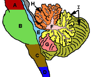 Anatomy of the cerebellum - Figure 3: Cerebellum and surrounding regions; sagittal view of one hemisphere. A: Midbrain. B: Pons. C: Medulla. D: Spinal cord. E: Fourth ventricle. F: ''Arbor vitae''. G: Tonsil. H: Anterior lobe. I: Posterior lobe.