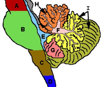 Anatomy of the cerebellum - Figure 3: Cerebellum and surrounding regions; sagittal view of one hemisphere. A: Midbrain. B: Pons. C: Medulla. D: Spinal cord. E: Fourth ventricle. F: Arbor vitae. G: Tonsil. H: Anterior lobe. I: Posterior lobe.