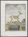 Cervus capreolus - skelet - 1700-1880 - Print - Iconographia Zoologica - Special Collections University of Amsterdam - UBA01 IZ21500023.tif