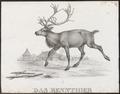 Cervus tarandus - 1700-1880 - Print - Iconographia Zoologica - Special Collections University of Amsterdam - UBA01 IZ21500088.tif